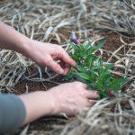 צמחי מרפא בגינה