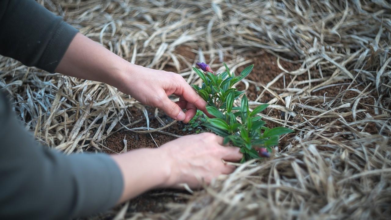 צמחי מרפא בגינה פרטית